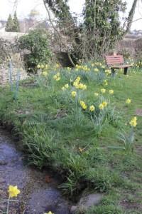 Upwey daffodils spring 2015